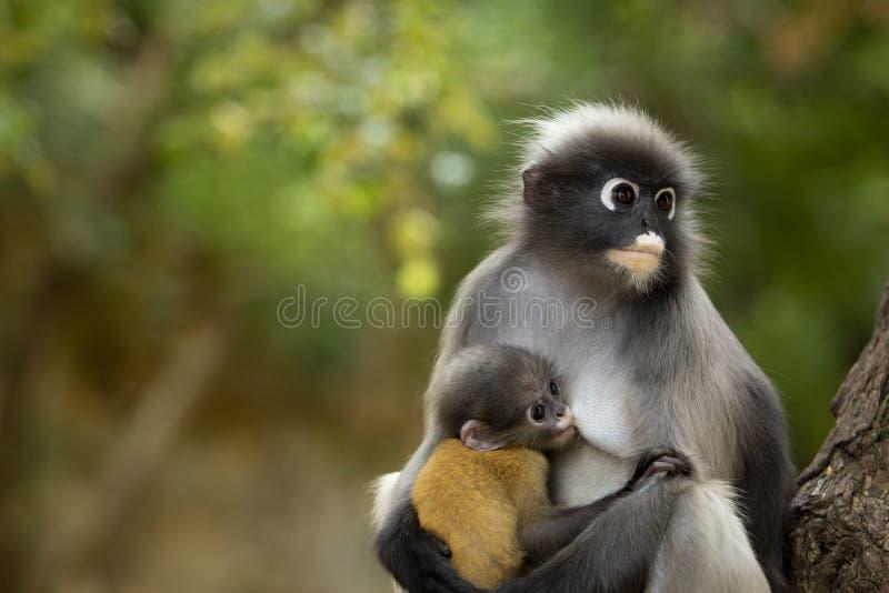 Macaco-folha-do-sol no parque nacional da Tailândia fotos de stock royalty free