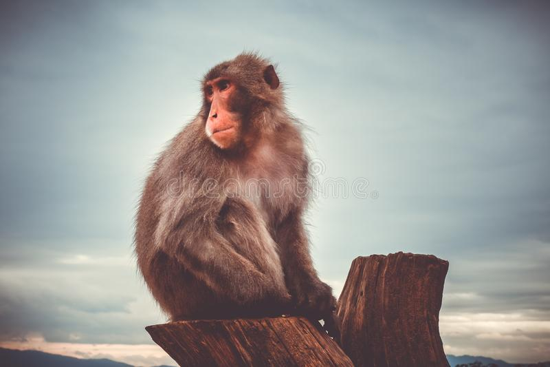 Macaco giapponese su un tronco, parco della scimmia di Iwatayama, Kyoto, Giappone fotografia stock libera da diritti