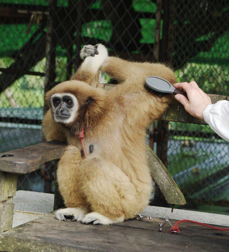 Macaco Gibbon (lat Hylobatidae) na exploração agrícola do parque do paraíso, Koh Samui, Tailândia imagem de stock