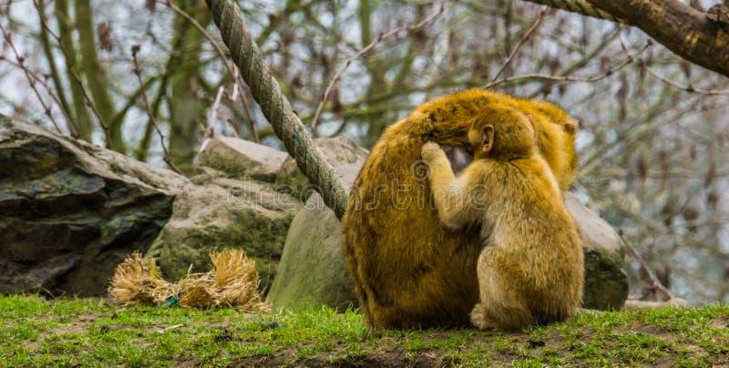 Macaco giovanile di barbary che seleziona le pulci da sua madre, animali che si governano, comportamento tipico della scimmia fotografia stock