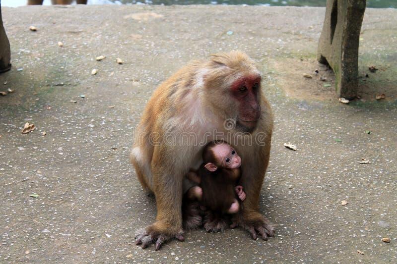 Macaco grande com bebê foto de stock