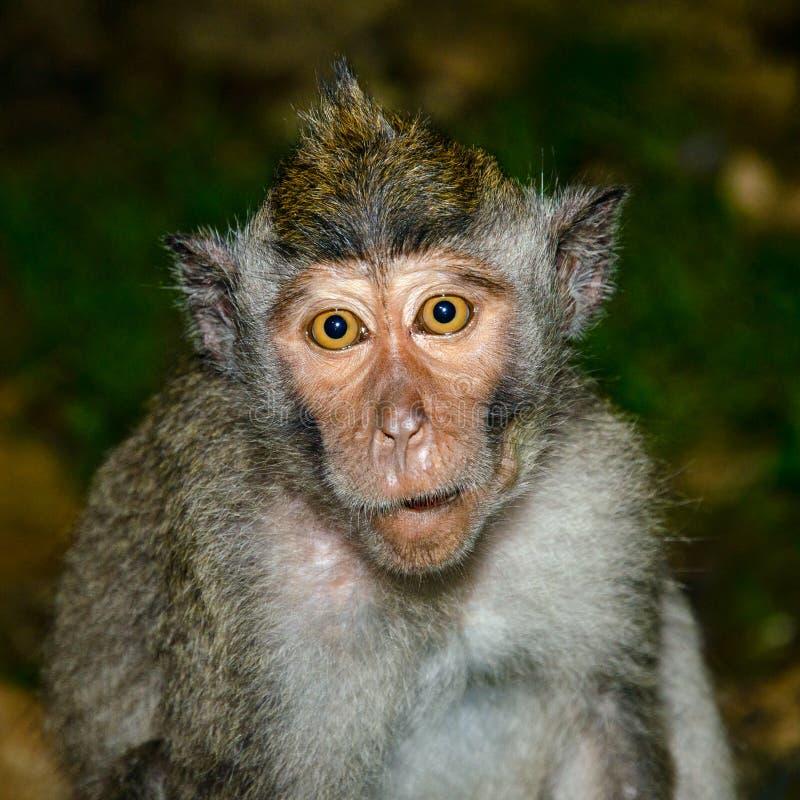 Macaco ingênuo imagens de stock royalty free