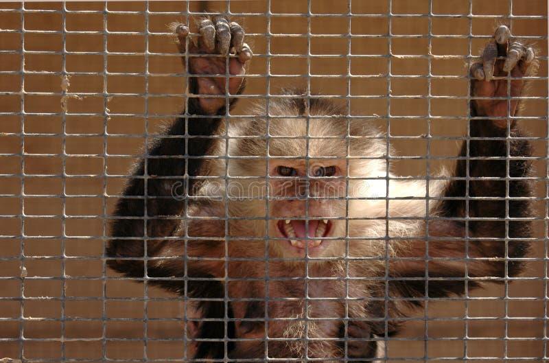 Macaco irritado imagem de stock