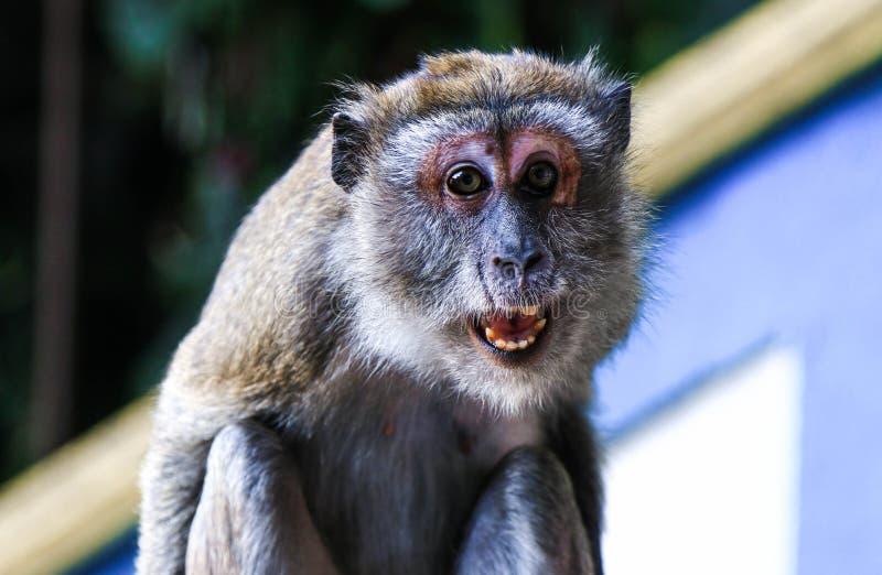 Macaco irritado fotos de stock