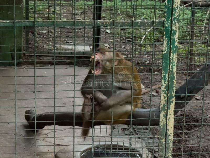 Macaco irritado em uma gaiola fotografia de stock royalty free