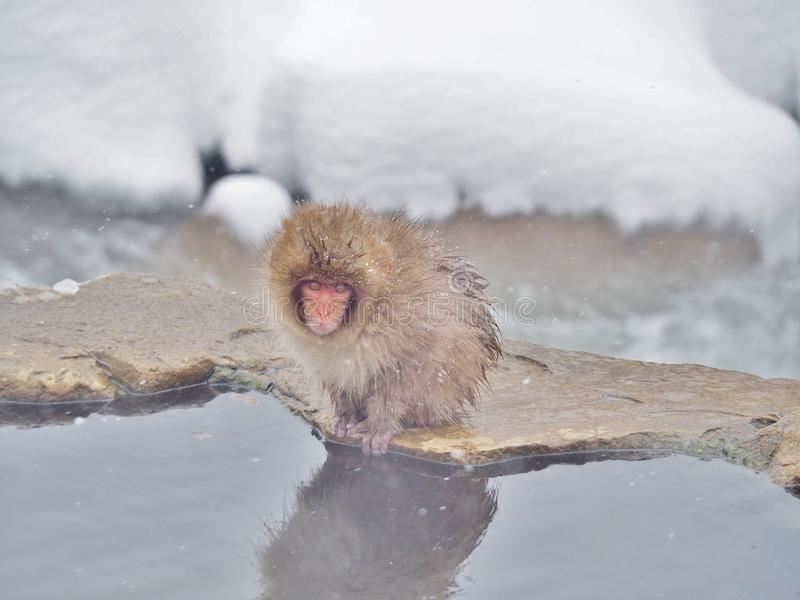 Macaco japonês da neve do macaque do bebê na borda da associação da mola quente fotografia de stock
