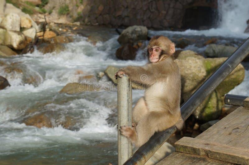 Macaco japonês da neve do macaque do bebê que escala pelo rio foto de stock royalty free