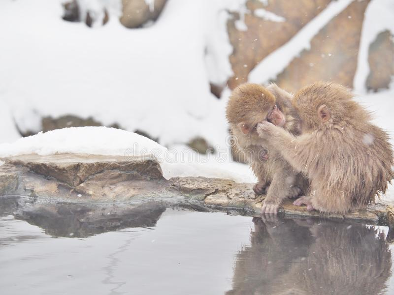 Macaco japonês da neve dos macaques no parque do macaco de Jigokudani no Nagano, Japão imagens de stock