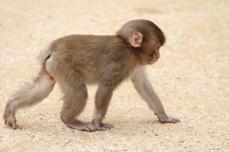Macaco japonês selvagem do bebê imagem de stock royalty free