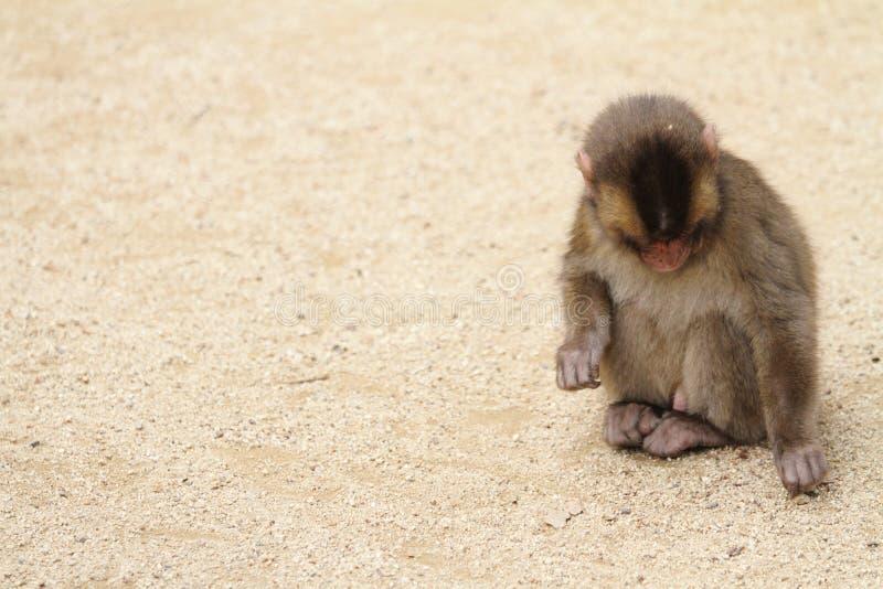 Macaco japonês selvagem do bebê foto de stock
