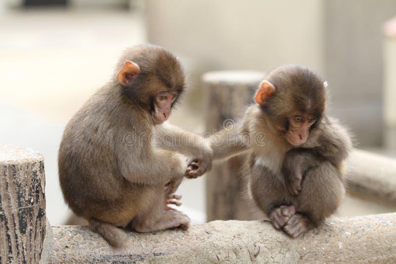 Macaco japonês selvagem do bebê fotos de stock
