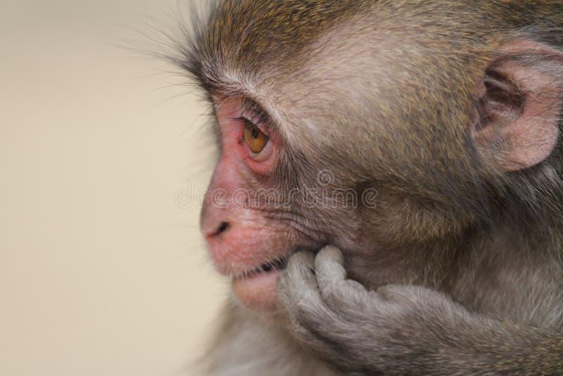 Macaco japonês selvagem do bebê imagens de stock