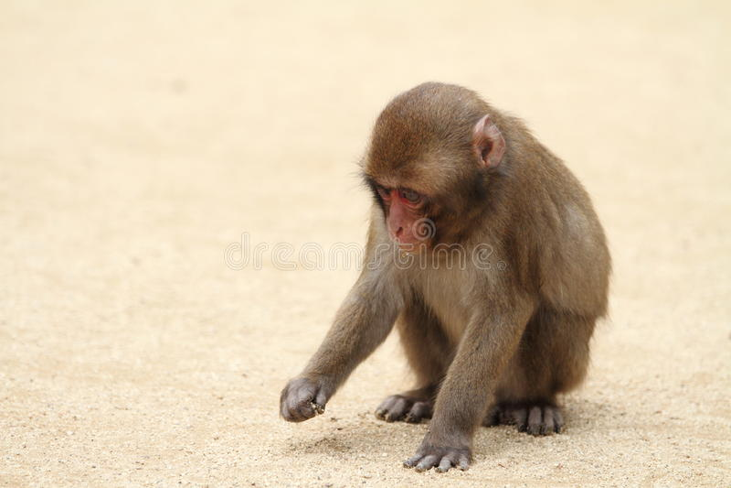 Macaco japonês selvagem do bebê foto de stock royalty free