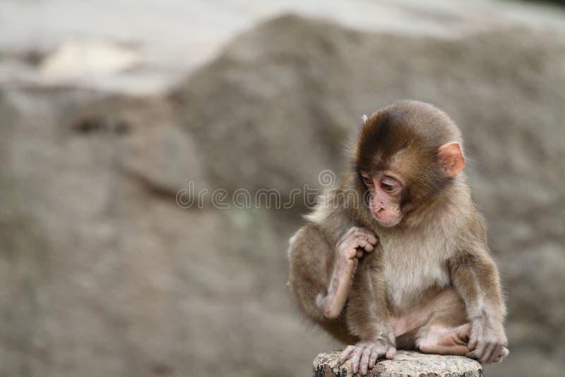 Macaco japonês selvagem do bebê fotos de stock royalty free