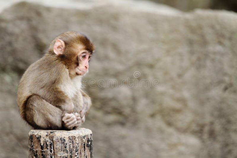 Macaco japonês selvagem do bebê fotografia de stock