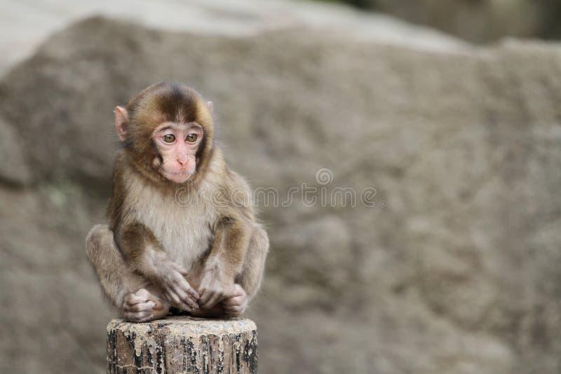 Macaco japonês selvagem do bebê fotografia de stock royalty free