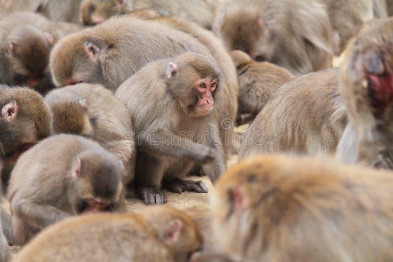 Macaco japonês selvagem em Beppu, Oita imagem de stock royalty free