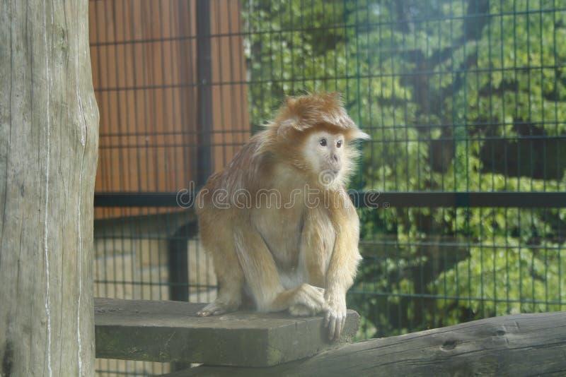 Macaco - Javanese de Lutung fotos de stock royalty free