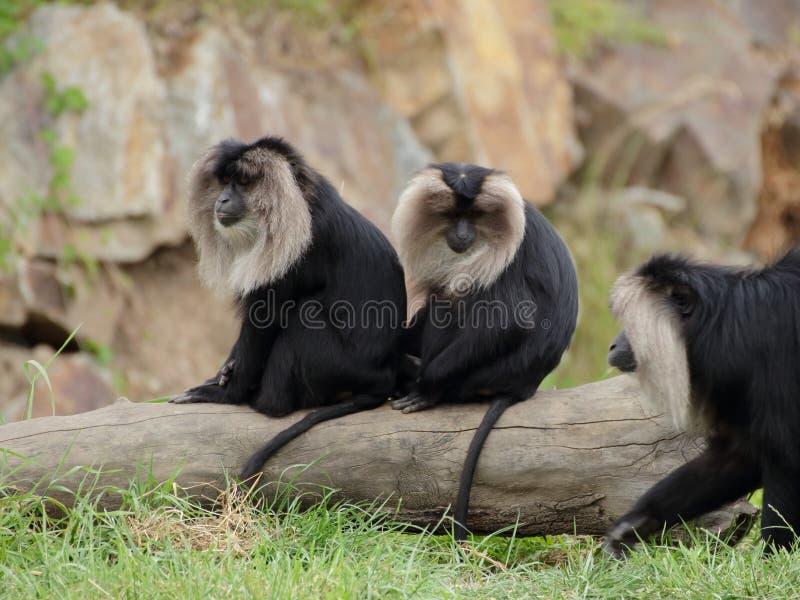 Macaco leone-munito due (silenus del Macaca) immagine stock