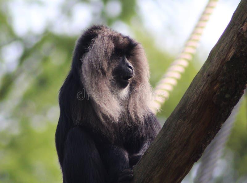macaco Leone-munito, silenus del Macaca fotografia stock