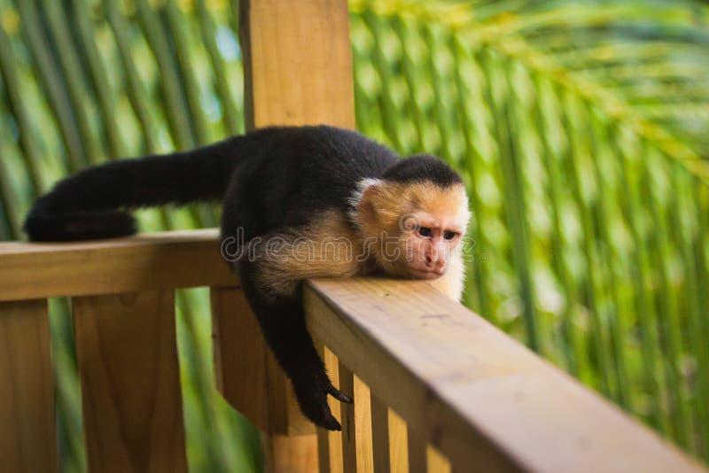 Macaco mal-humorado - capuchin Branco-enfrentado que encontra-se no corrimão foto de stock royalty free