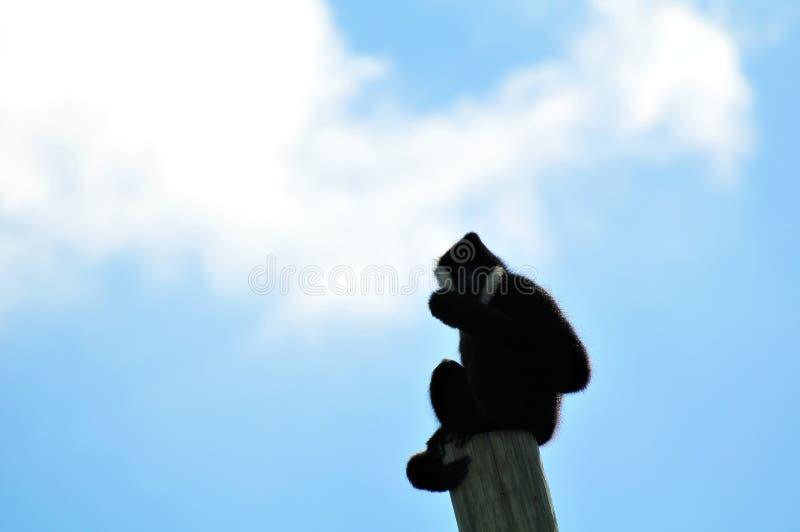 Macaco masculino de Gibbon sobre o polo fotografia de stock royalty free