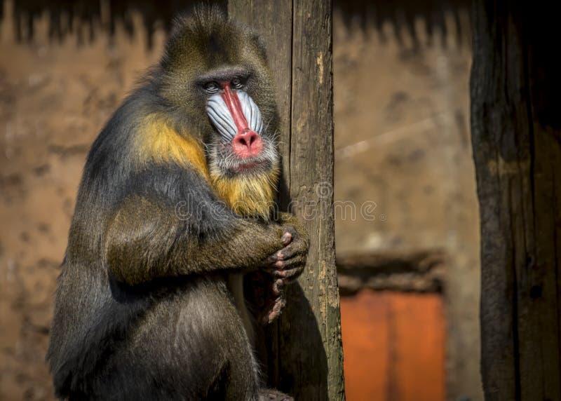 Macaco masculino do mandril fotografia de stock
