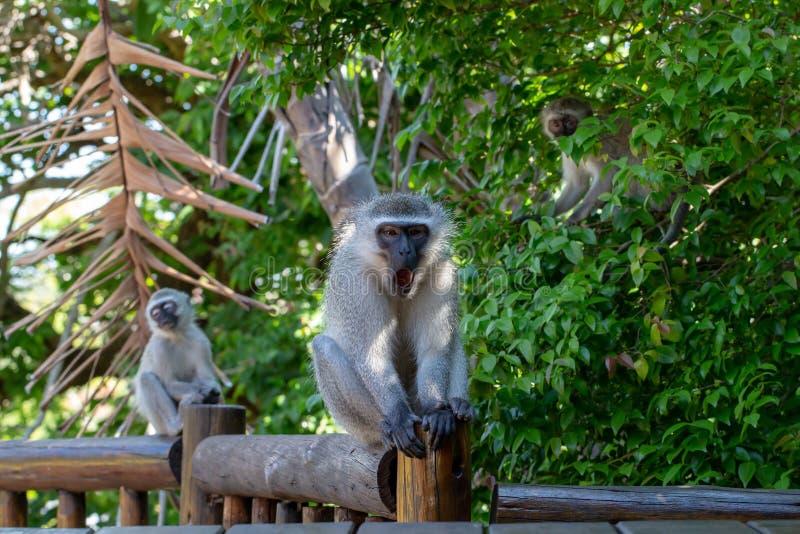 Macaco masculino, para bocejar aproximadamente, sentando-se na plataforma de madeira fotografia de stock