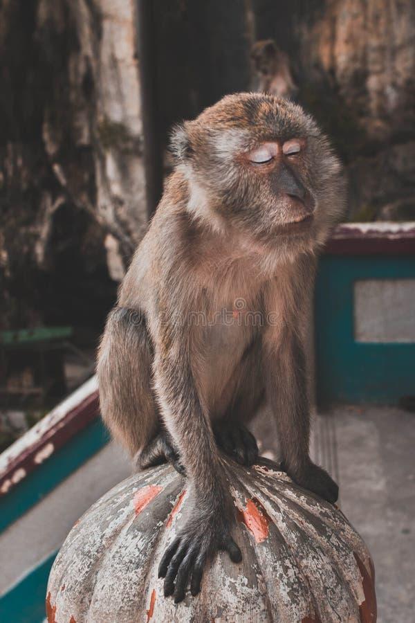 Macaco Meditating imagens de stock
