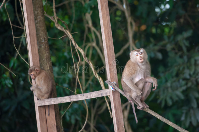 Macaco monkey baby in the natural forest, animal in nature. Macaco monkey baby in the natural forest stock photography