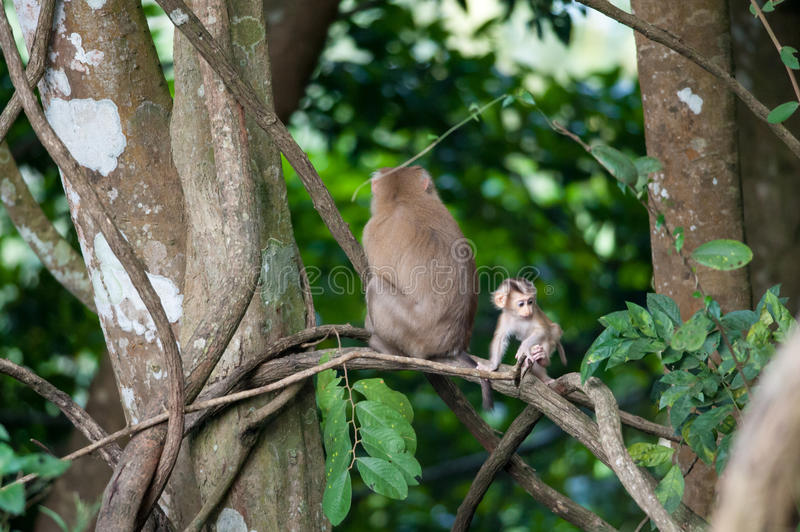 Macaco monkey baby in the natural forest, animal in nature. Macaco monkey baby in the natural forest stock image