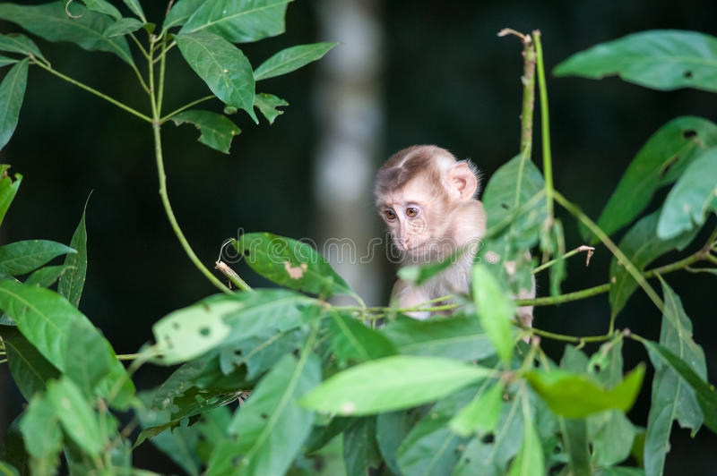Macaco monkey baby in the natural forest, animal in nature. Macaco monkey baby in the natural forest stock photo