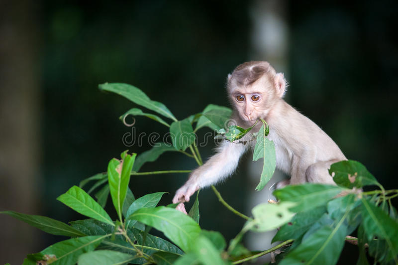 Macaco monkey baby in the natural forest, animal in nature. Macaco monkey baby in the natural forest royalty free stock photography