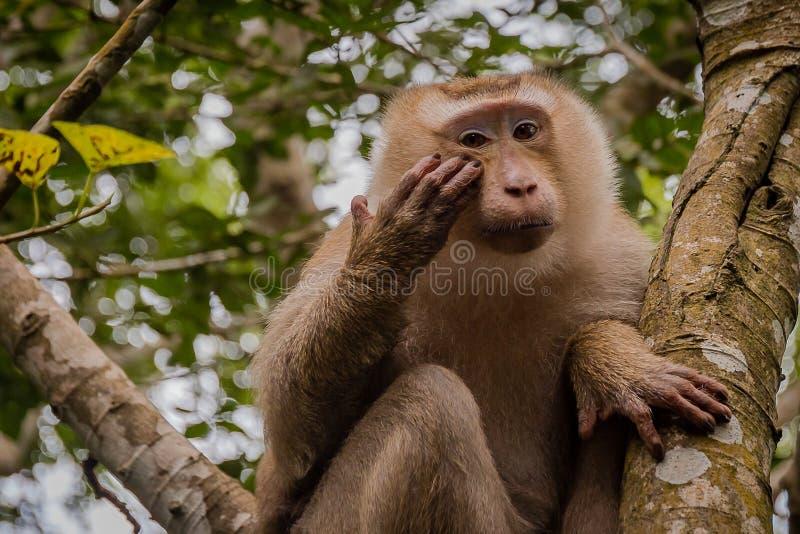 Macaco na árvore O macaco olha povos fotos de stock royalty free