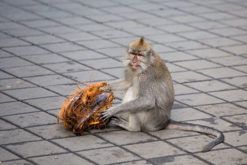 Macaco na floresta sagrado do macaco indonésia imagem de stock royalty free