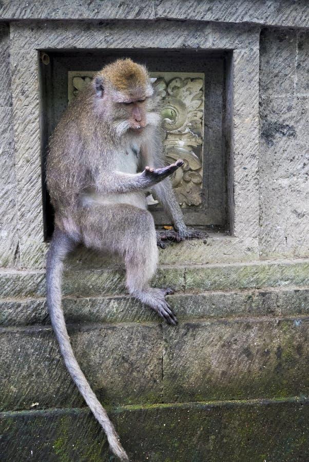 Macaco na floresta sagrado do macaco, Ubud, Bali, Indonésia imagens de stock