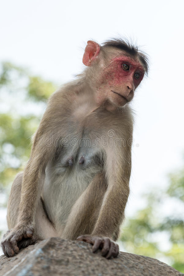 Macaco na ilha de Elephanta imagem de stock royalty free