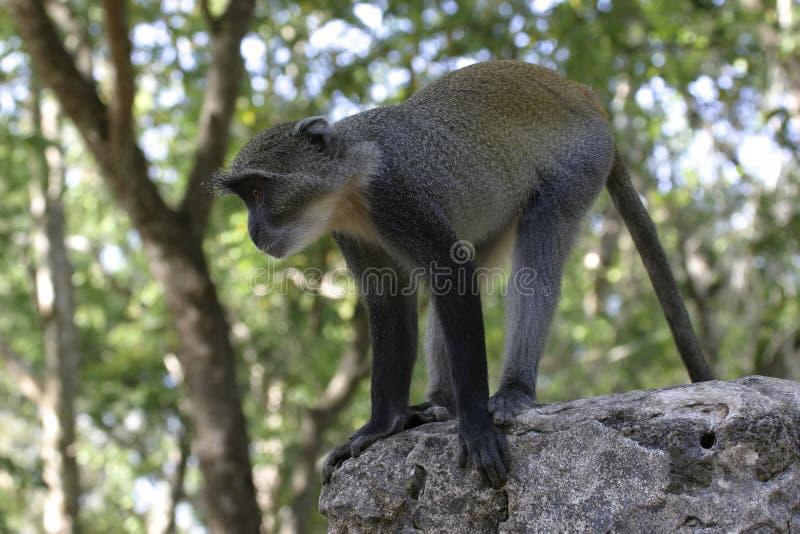 Macaco na parede fotos de stock