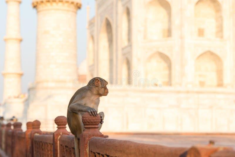 Macaco na parede em Taj Mahal fotos de stock royalty free