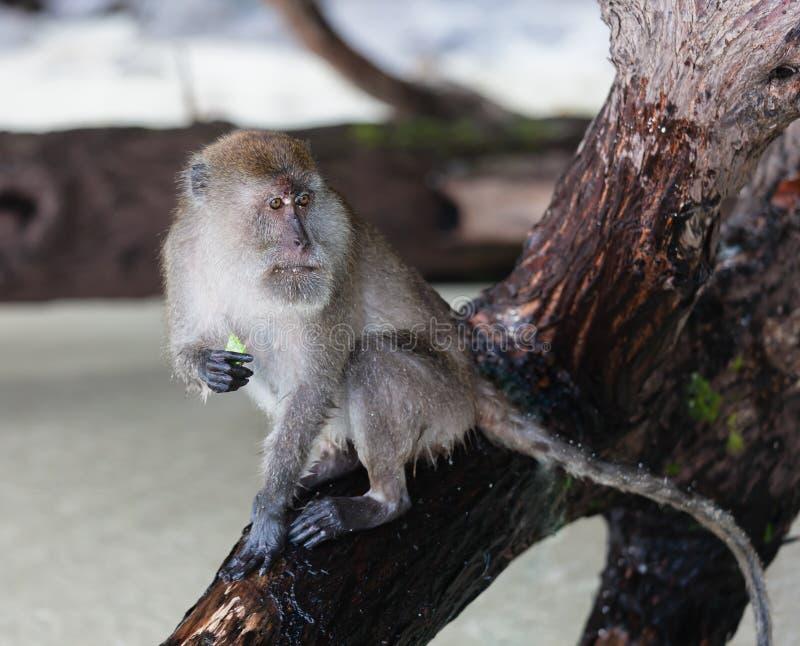 Macaco na phi da phi da praia do macaco. imagem de stock royalty free