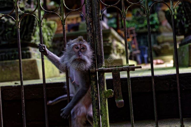 Macaco na porta do templo fotos de stock royalty free