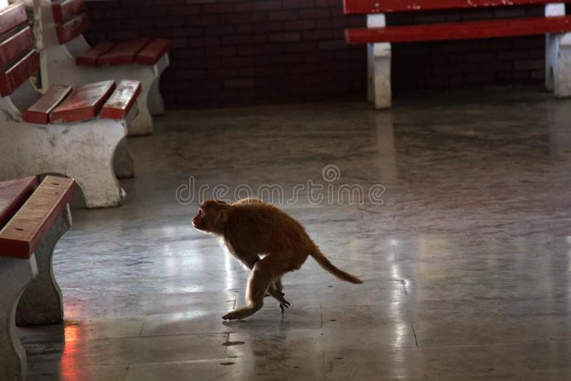 Macaco na queda livre Foto engra?ada imagens de stock