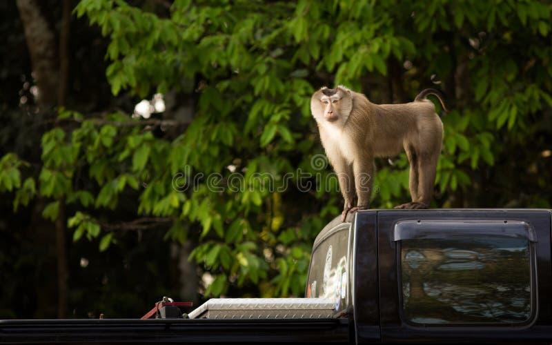 Macaco no caminhão preto imagem de stock