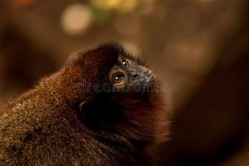 Macaco no jardim zoológico de Londres fotos de stock royalty free