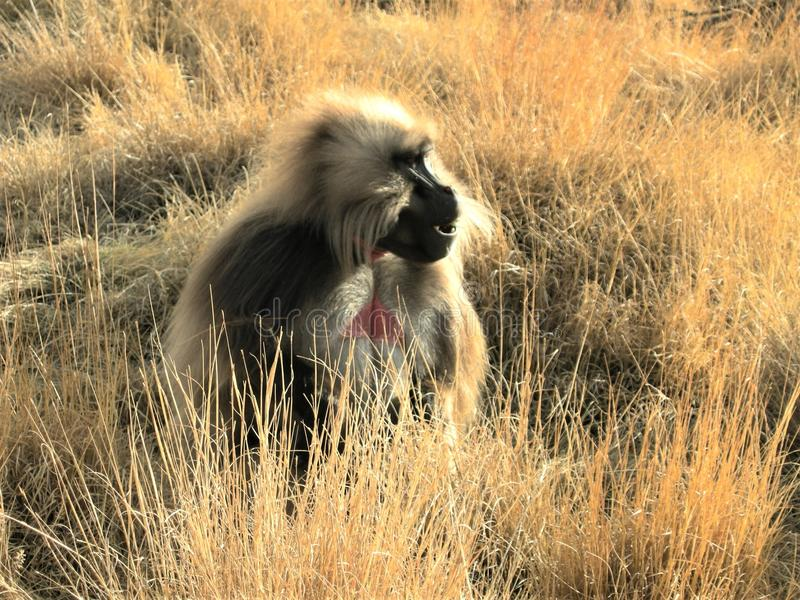 Macaco no Siemens, Etiópia fotos de stock