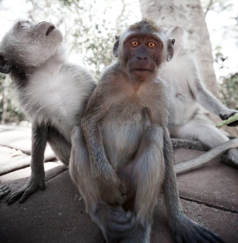 Macaco novo amedrontado - caranguejo-comendo o macaque fotografia de stock