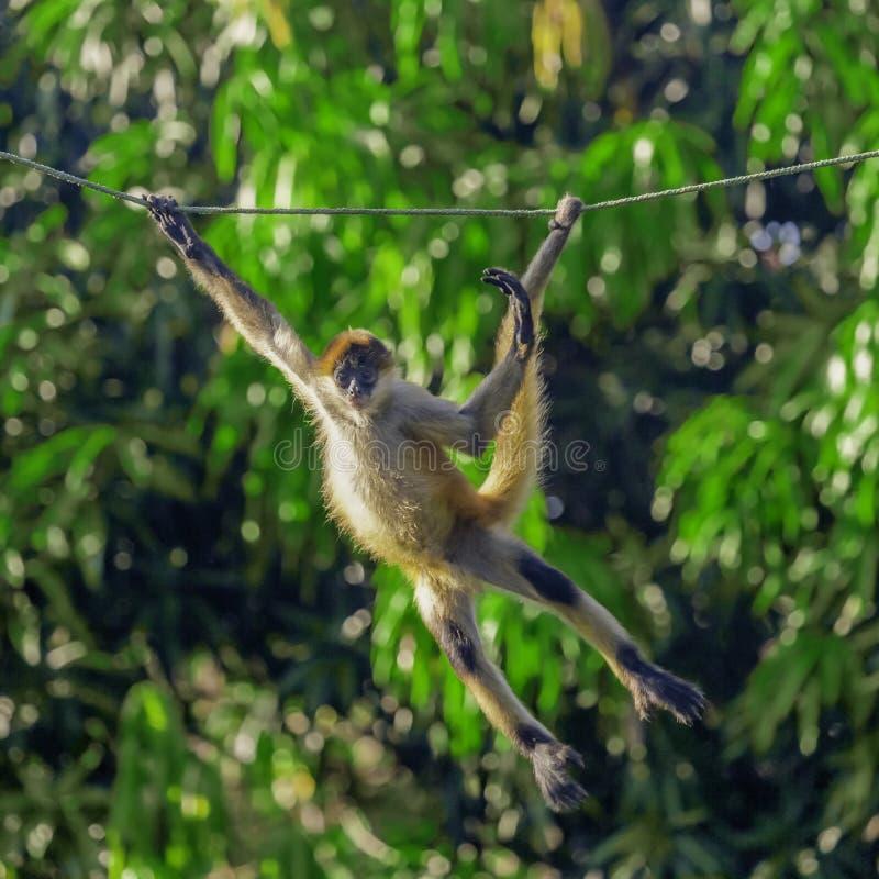 Macaco novo do Capuchin que balança em uma corda imagens de stock royalty free