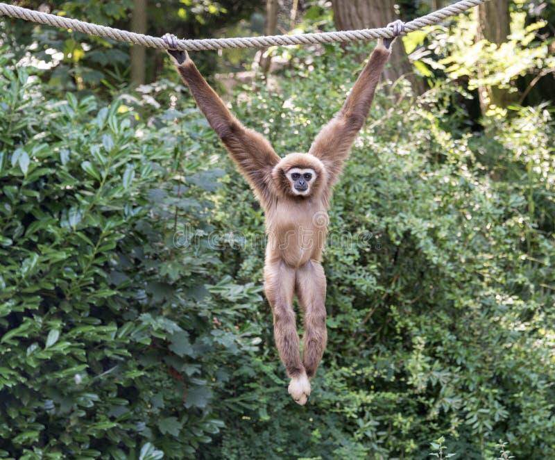 Macaco novo do gibão fotos de stock