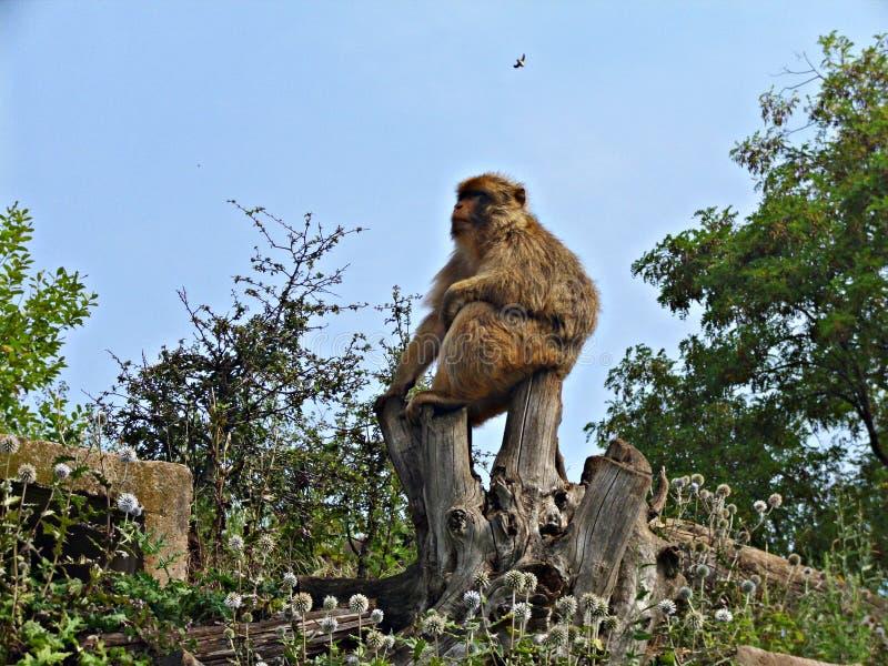 Macaco num parque - fundo animal - Big Boss foto de stock