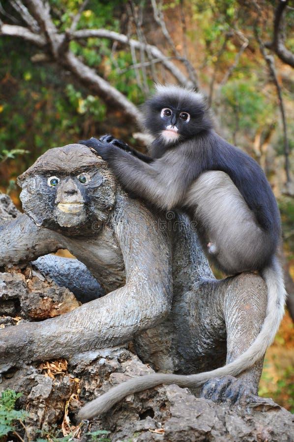 Macaco obscuro da folha foto de stock royalty free